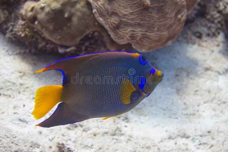 Queen Angelfish royalty free stock image