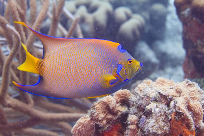 Queen Angelfish royalty free stock photography