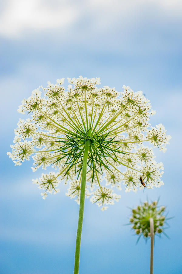 Queen Anne Lace royalty free stock image