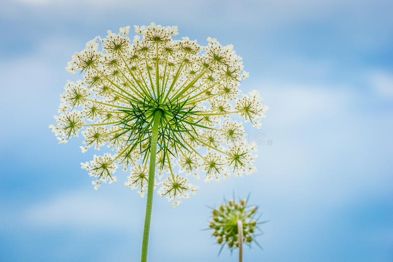 Queen Anne Lace stock image