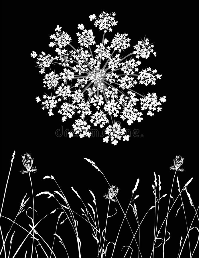 Queen Anne's Lace vector illustration