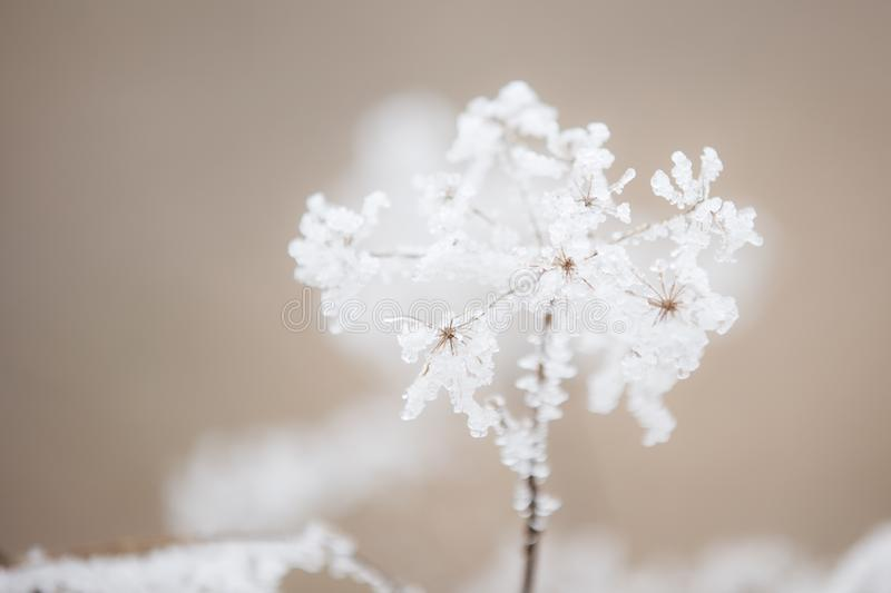 A Queen anne`s lace flower covered in a beautiful icy frost stock photos