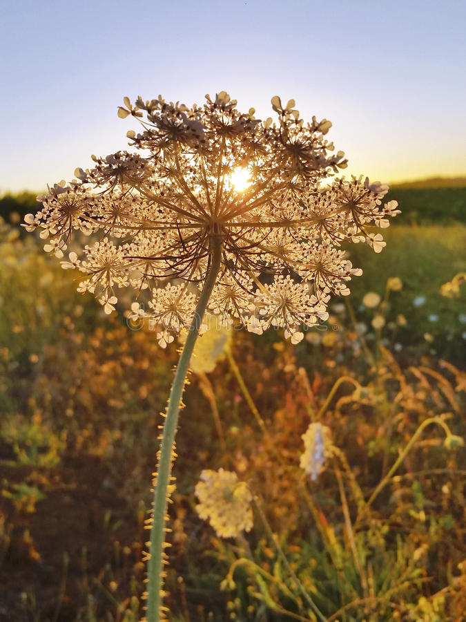 Free Queen Anne`s Lace In Field At Golden Sunset Royalty Free Stock Images - 96963089