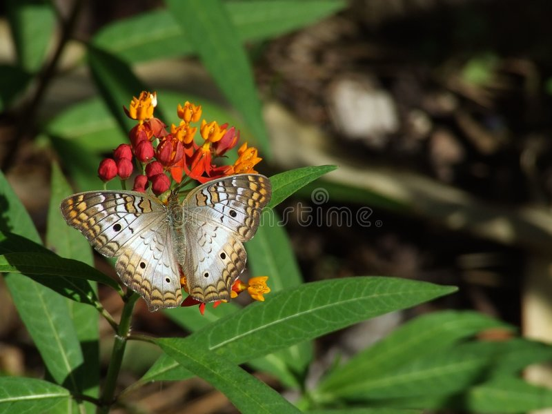 Queen Annes Lace. A Queen Annes Lace butterfly on a milkweed flower royalty free stock images