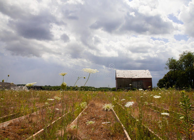 Queen annes lace with a barn. Queen annes lace on an abandoned farm stock photo