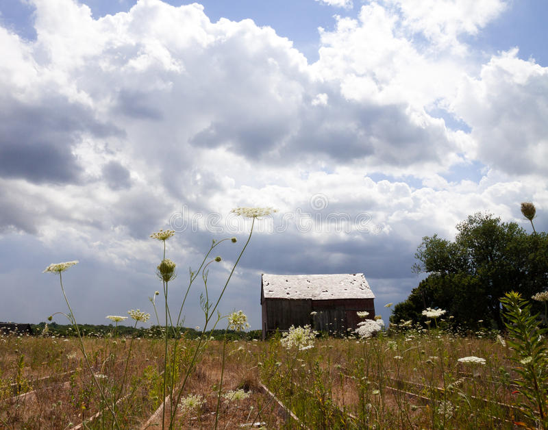 Queen annes lace with a barn. Queen annes lace growing on an abandoned field stock photo