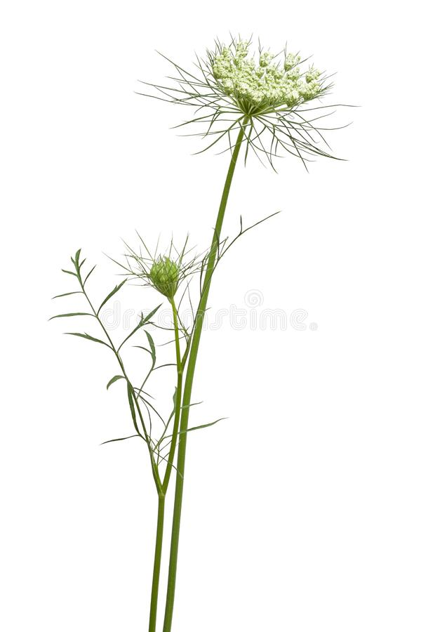 Queen Annes Lace on White royalty free stock photo