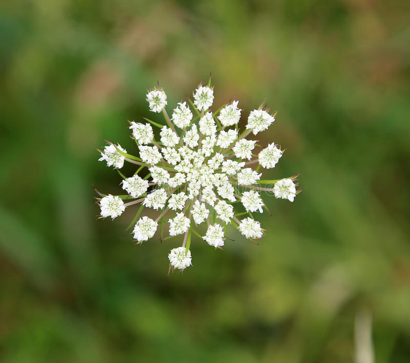 Queen Annes Lace. Wild Carrot known also as Queen Annes Lace New Zealand royalty free stock photography