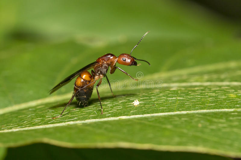 Queen of Ant on leaf. (Camponotus nicobarensis royalty free stock images