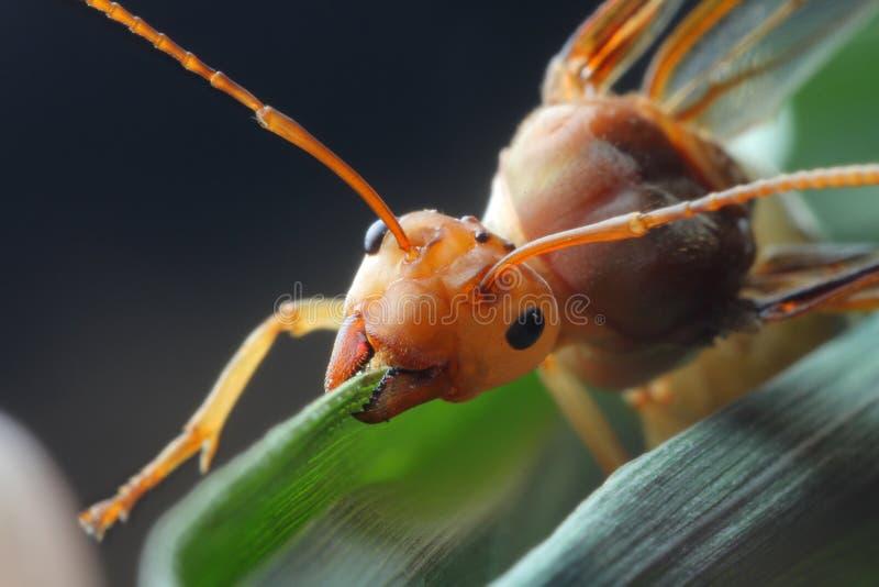 Amblyopone australis - Page 2 - Ant Keeping (Australia