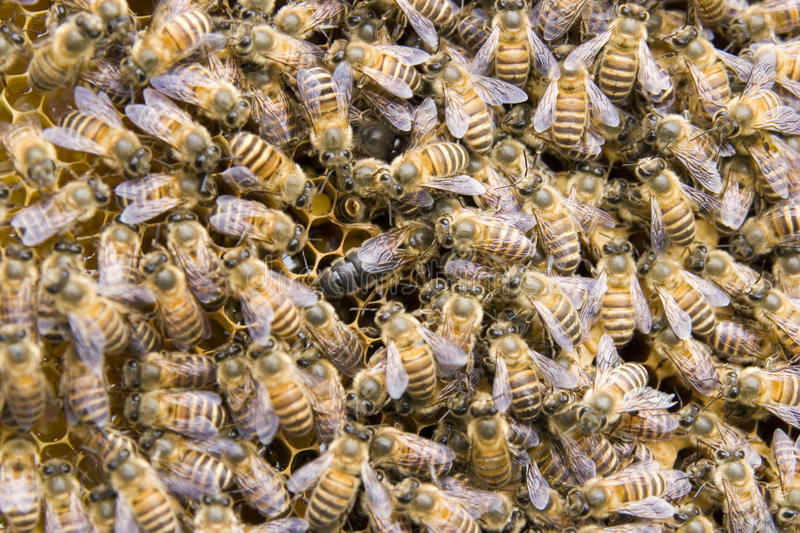Download Queen bee stock photo. Image of abdomen, antenna, close - 15901560