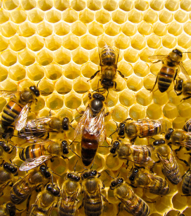 Queen bee. Is always surrounded by the workers - their servant royalty free stock images