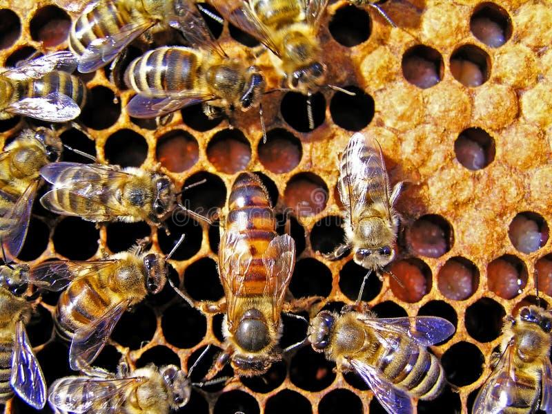 Queen bee behind work. stock photography