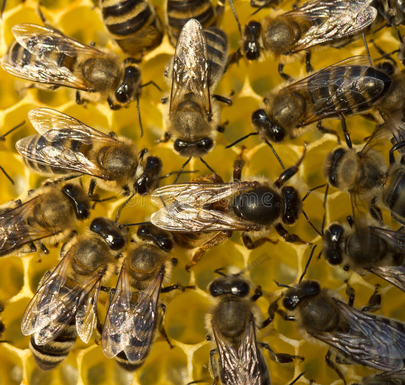 Queen bee lays eggs in the honeycomb. royalty free stock image