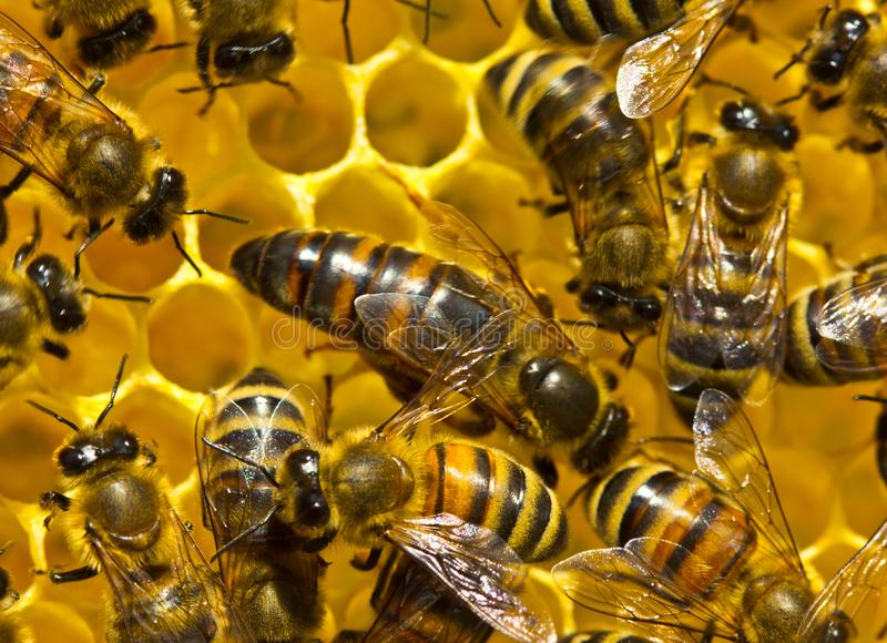 Queen bee lays eggs in the honeycomb stock images