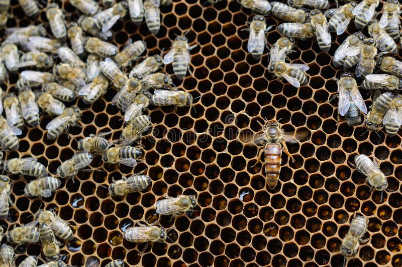 Queen bees in honeycombs lays eggs. Apiculture. stock photo