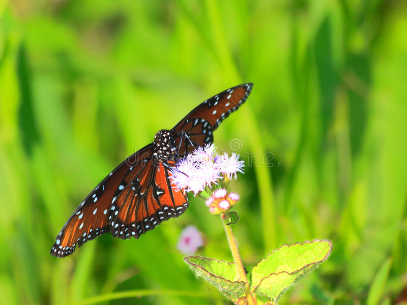 Queen butterfly. Close up of a beautiful queen butterfly perching on a Blue mistflower in the Florida Everglades stock photos