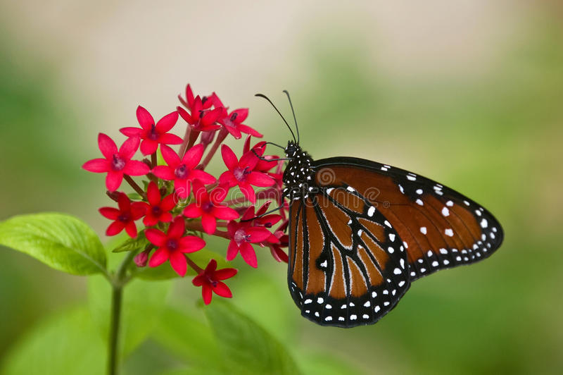 Queen Butterfly, Danaus gilippus. Queen butterfly on red star flowers royalty free stock image