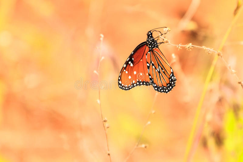 Queen Butterfly stock photos