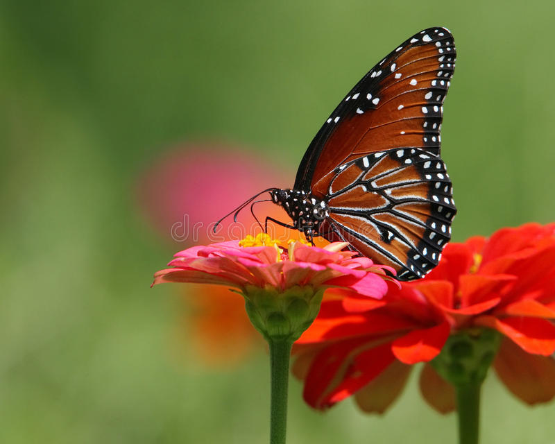 Queen Butterfly. The Queen resembles its close relative the Monarch butterfly (Danaus plexippus) in various ways, but is smaller and the ground color of the royalty free stock photo