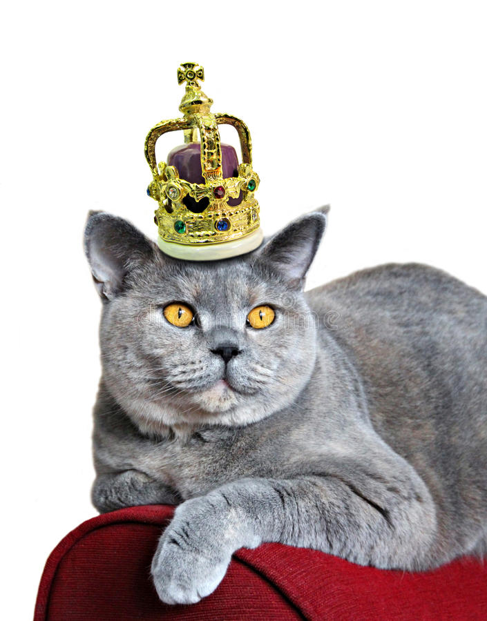 Queen of cats. Photo of a pedigree british shorthair cat wearing a golden crown encrusted with precious jewels royalty free stock image