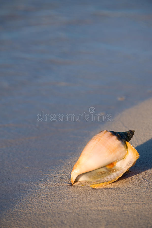 Queen Conch Royalty Free Stock Photo