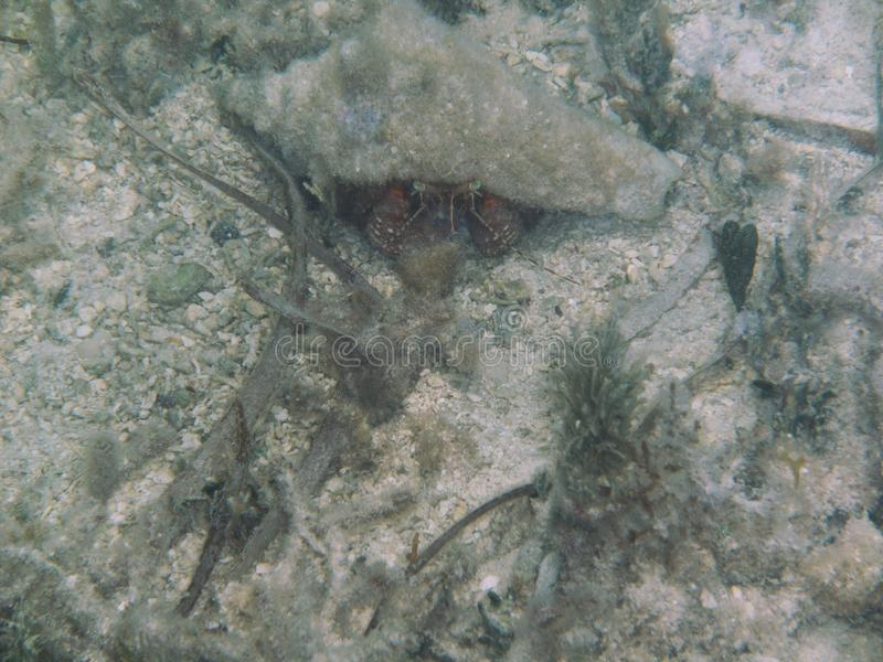 Queen Conch lizenzfreie stockfotos