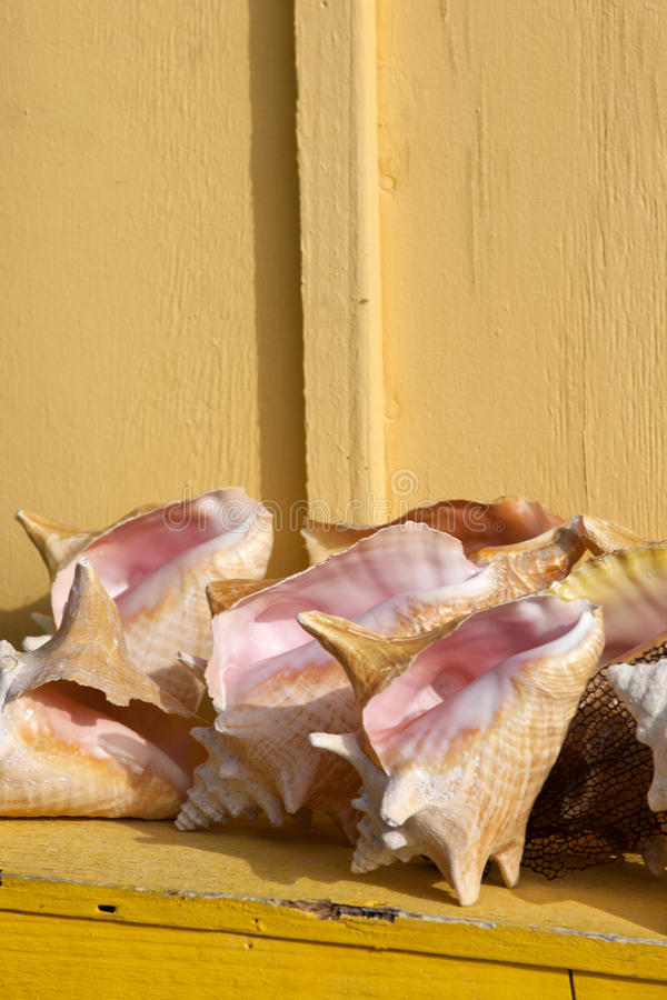 Queen Conch Shells Royalty Free Stock Images