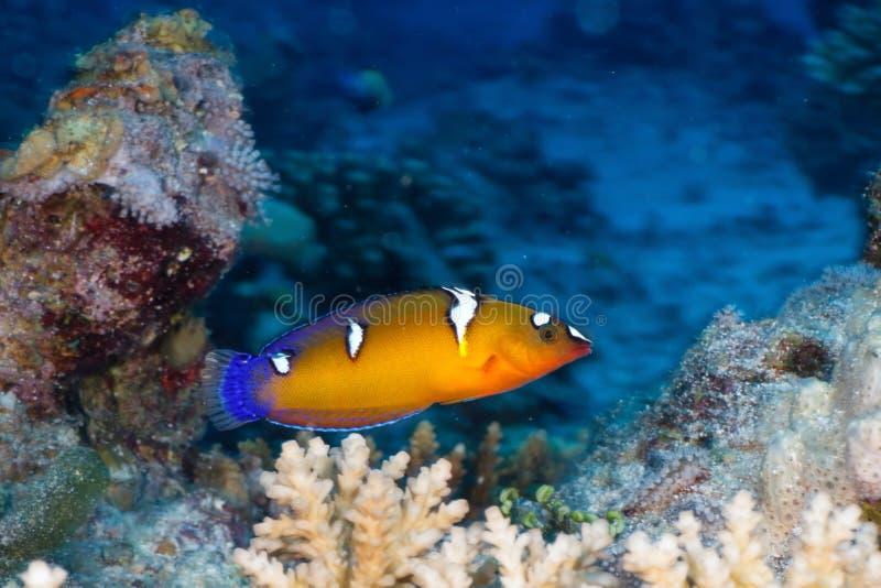 Queen coris. (Coris formosa) in the Red Sea, Egypt stock photos