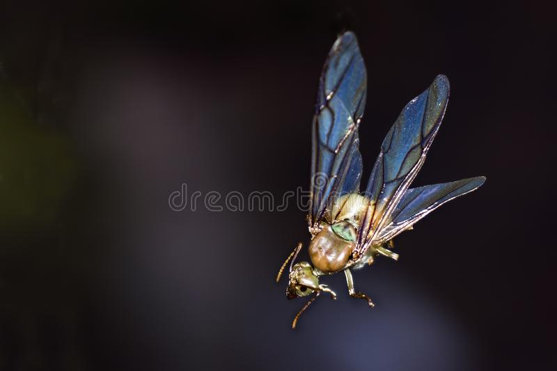 Queen green ant mating flight with copy space. Queen green ant also known as weaver ants on mating flight Common in Northern Australia and used by Aboriginals as stock image