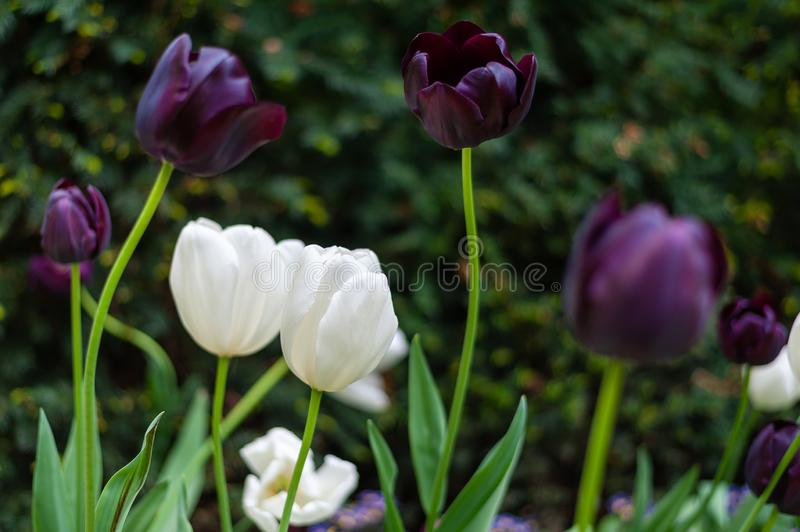 Queen of the Night and white tulips make a stunning display in any garden. royalty free stock photography