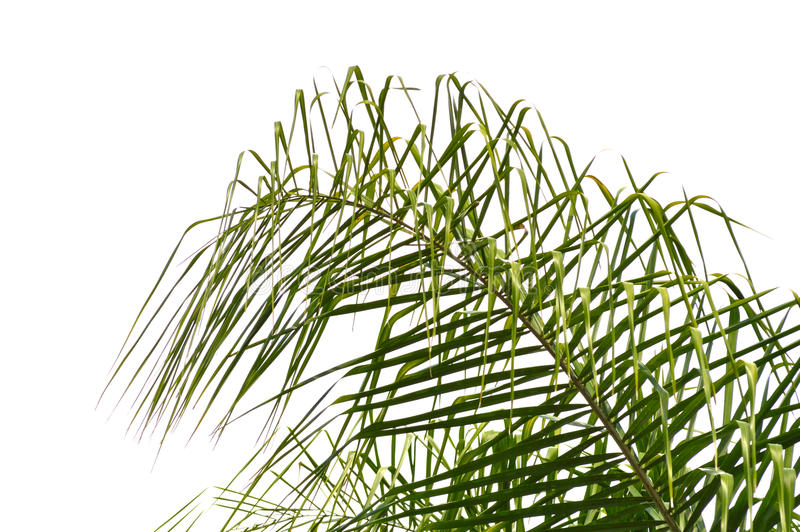 Queen palm frond background. royalty free stock images
