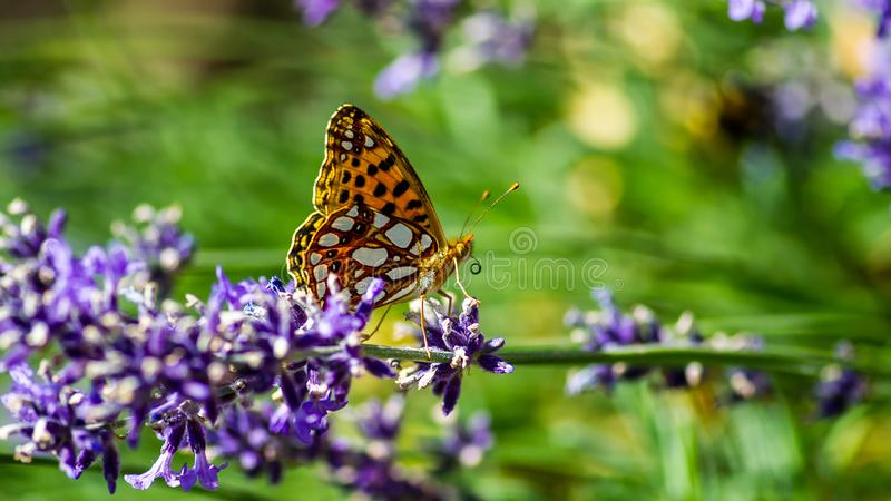 Queen of Spain fritillary Issoria lathonia in profile on the blue lavender. A butterfly of the family nymphalidae named Queen of Spain fritillary or Fritillary royalty free stock photo