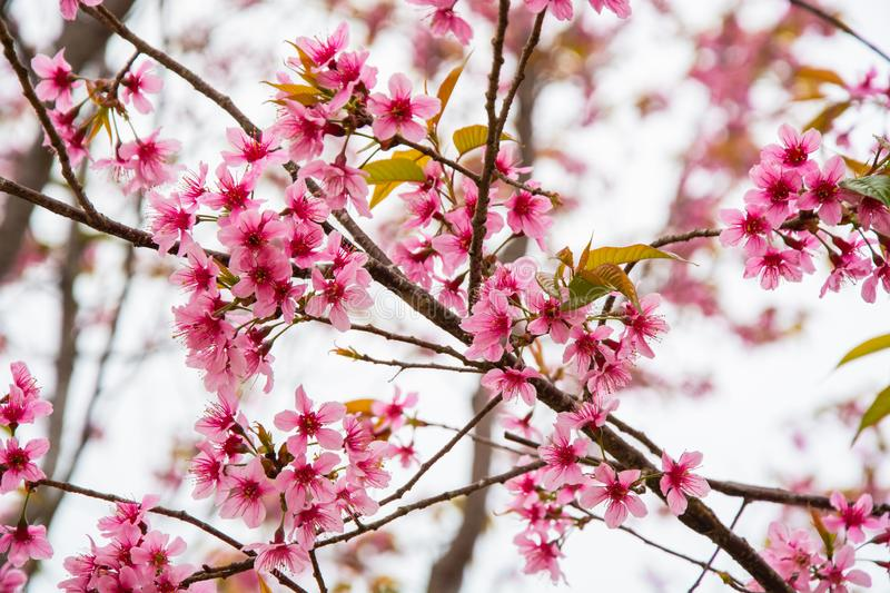 The queen tiger flower is blooming beautifully, Sakura in Thailand stock photos