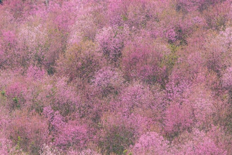 Queen tiger Sakura , Cherry blossom stock photo