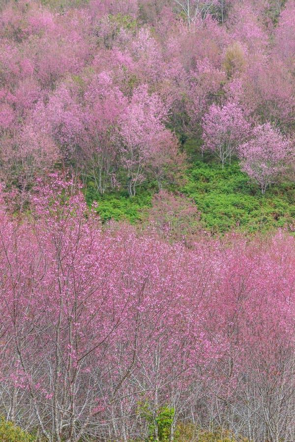 Queen tiger Sakura , Cherry blossom stock photography