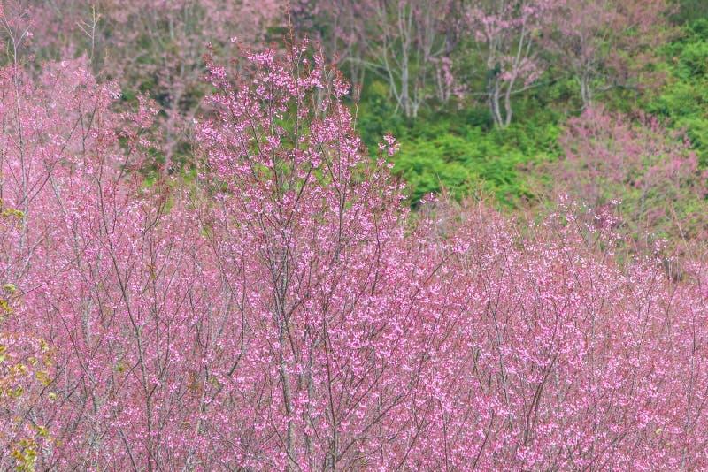 Queen tiger Sakura , Cherry blossom royalty free stock photos