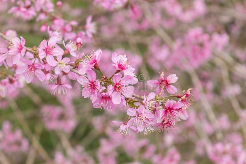 Queen tiger Sakura , Cherry blossom royalty free stock photography
