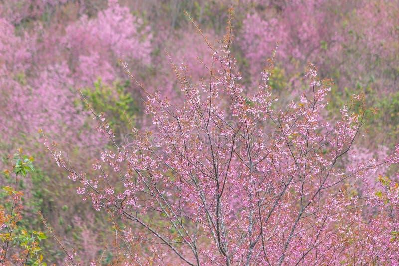 Queen tiger Sakura , Cherry blossom royalty free stock image