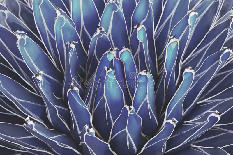 Queen Victoria Century Agave Plant in Blue Tone Color Natural Abstract Pattern Background stock photography