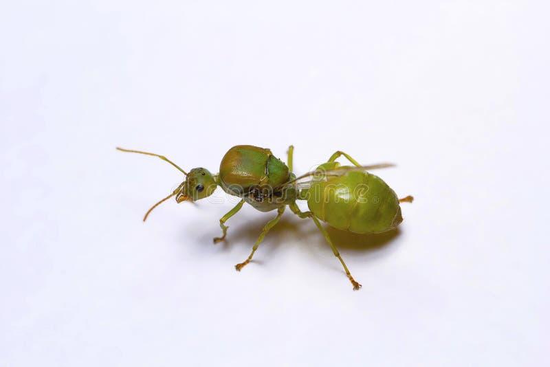 Queen of weaver ants, Oellcophylla smaragdina. Pondicherry, Tamilnadu stock image