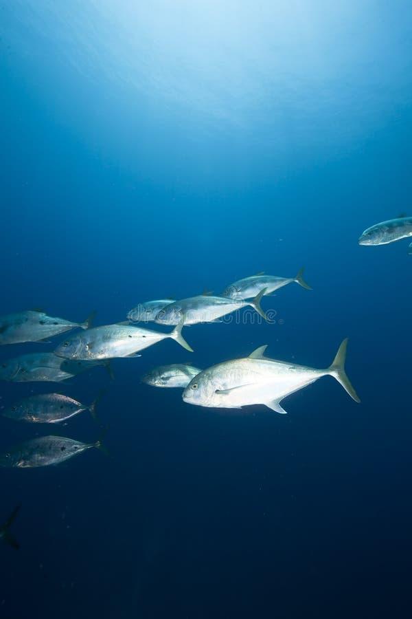 queenfish doublespotted d'océan photographie stock libre de droits
