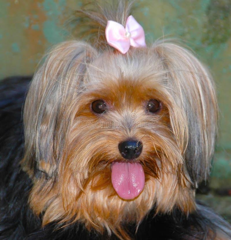 Queenie, een verwende hond royalty-vrije stock afbeeldingen