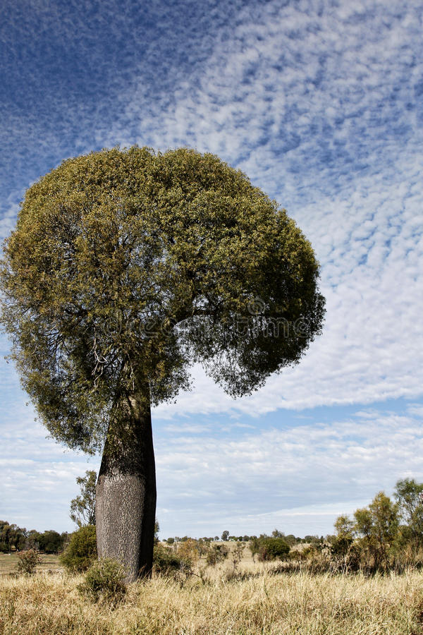 Queensland Bottle Tree or Brachychiton rupestris stock photography