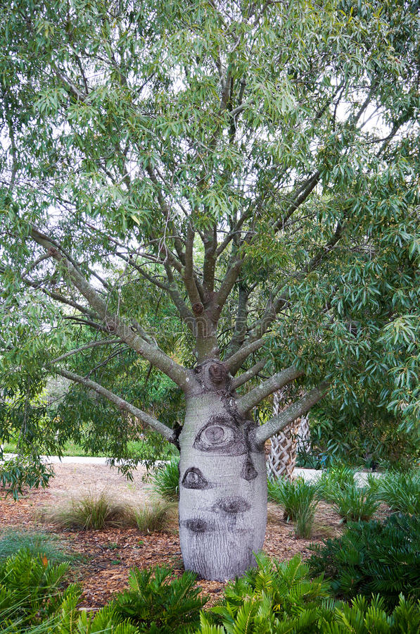 Queensland flaskträd, brachychitonrepestris fotografering för bildbyråer