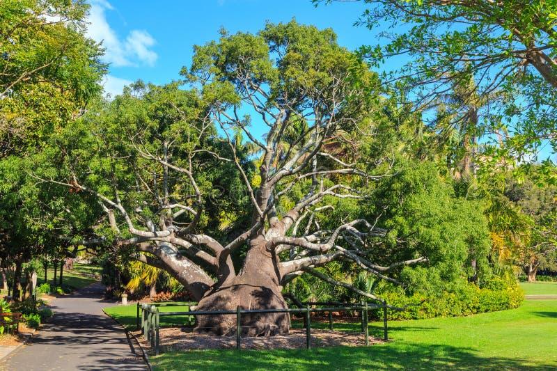 Queensland flaskträd i den kungliga botaniska trädgården, Sydney, Australien arkivbilder