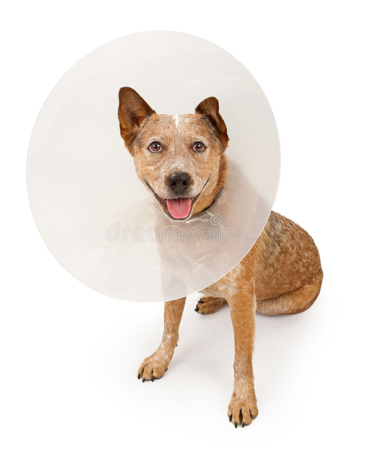 Queensland Heeler Dog Wearing A Cone. A Queensland Heeler dog (also known as an Australian Cattle Dog) wearing a plastic cone around his neck due to an injury royalty free stock photography