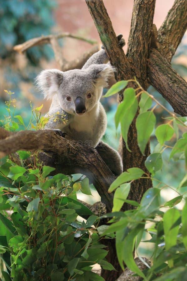 Queensland koala arkivfoton