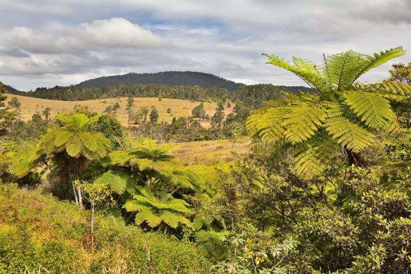 Queensland tree fern rain forest royalty free stock photos