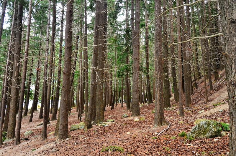 Queenstown Douglas Fir Pine Forest image libre de droits
